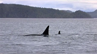 The dorsal fins of a large and a small killer whale break the surface of the ocean, behind which a forested shoreline appears.