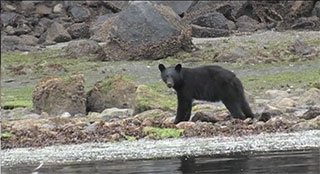 A small black bear faces the camera while standing on the shore foraging for food.