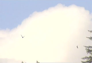 Two birds are flying against a large white cloud in the sky.