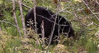 A black bear stands in the woods. The bear appears to be foraging for food in a setting of twigs, ferns and undergrowth.