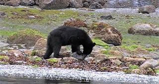 A black bear is turning over a rock on a beach in a search for food.