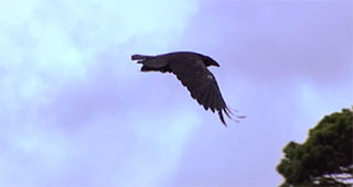 A raven in flight with wings stretched out appears against a slightly cloudy blue sky background.